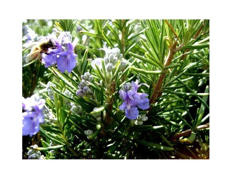 Набор для выращивания Зеленый капитал Розмарин zk-036 наборы для выращивания вырасти дерево набор для выращивания гранат обыкновенный